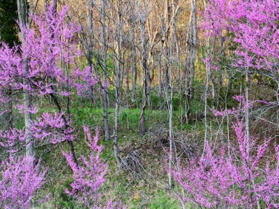 Redbuds On A Hillside #1