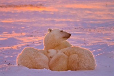 Polar Family Sunset