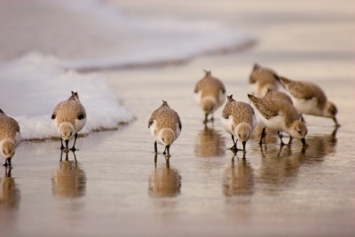 Sanderlings Feeding In The Waves