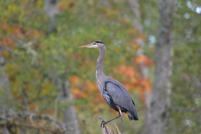 Great Blue Heron On A Perch.