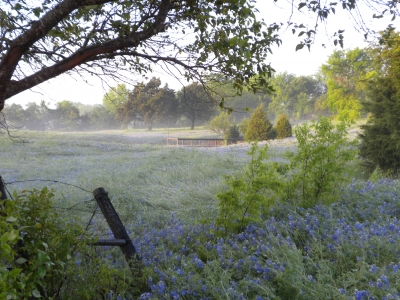 Bluebonnets In Early Morning Dew