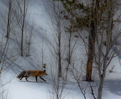 Colorado Fox On The Hunt