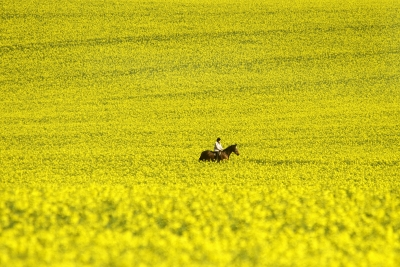 Horse In Rapeseed