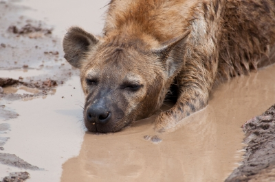 Hyena Getting Down And Dirty