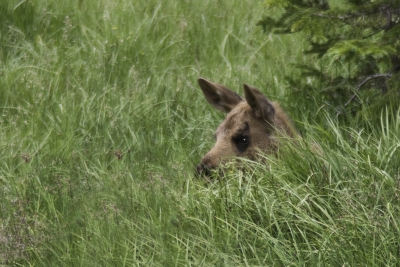 Moose Calf Hidden In Grass