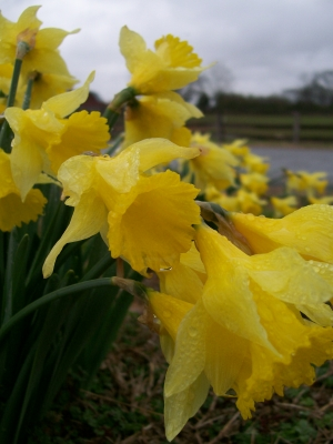 Rainy Day Daffodils