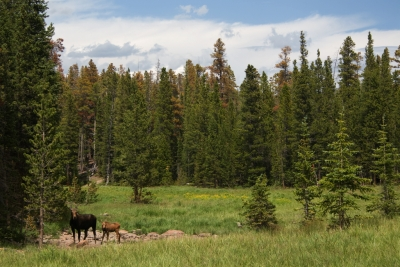 Moose In Meadow Near Long Draw Road