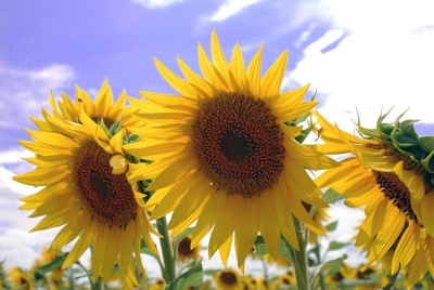 Sunflowers In West Texas