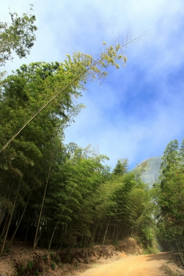 Fog, Blue Sky, And Bamboo Forest