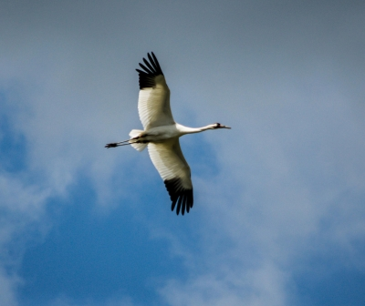 Flight Of The Whooping Crane