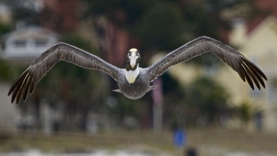 I'm Getting Ready To Duck – Here Comes A Low Flying Pelican