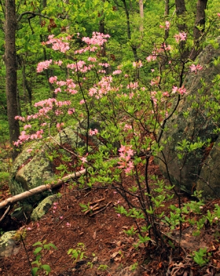 Wild Azalea In The Woods 4
