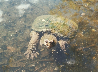 Snapping Turtle 2