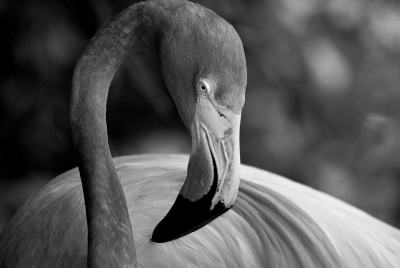 Flamingo Shades Of Gray