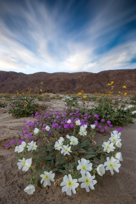 Borrego Bloom