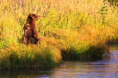 Potter Marsh Brown Bear