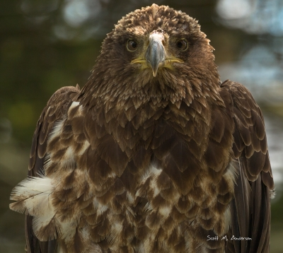 Grace Of The Grandfather Eagle