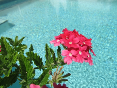 Pink Bloom Over The Pool