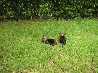 A Pair Of River Otters