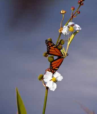 Butterfly On Flower With Praying Mantis