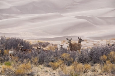 Mule Deer At Edge Of Dunes