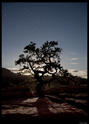 Pinion Tree At Moonrise