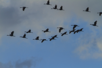 Sandhill Cranes Migrating North