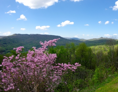 Pink Azaleas On Grandfather Mountain
