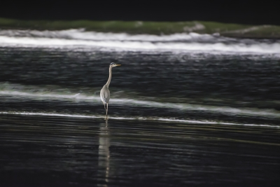 Great Blue Heron At Night