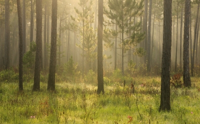 Misty Pine Savanna