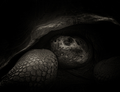 Portrait Of Tortoise