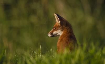 Red Fox Cub Waiting For Its Mum