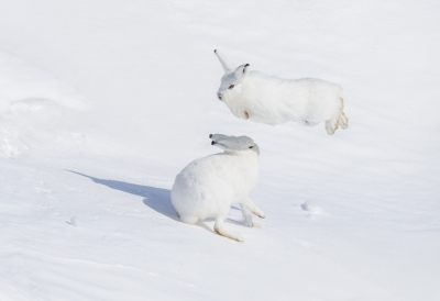 Arctic Hare Playing