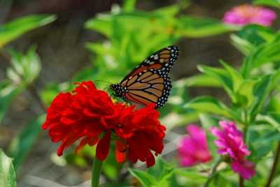 Monarch On A Zinnia