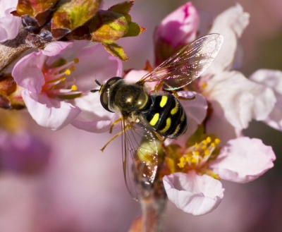 Bee In The Cherry Blossoms