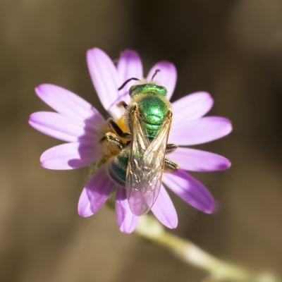Green Bee On Aster