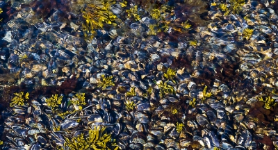 Mussel Bed In Tide Pool