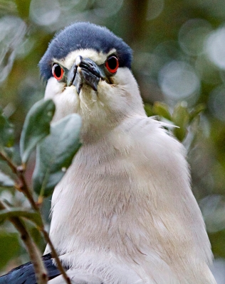 Direct Eye Contact With A Night Heron