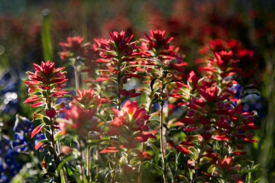 Texan Indian Paintbrush
