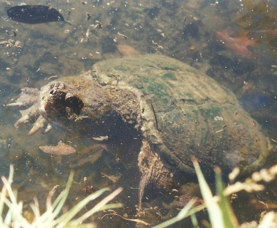 Snapping Turtle 4