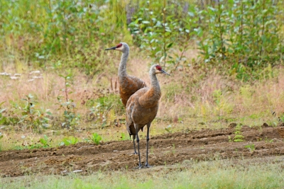 Sandhill Crane Visitors