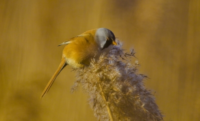 Bearded Tit @ Sunrise, Netherlands