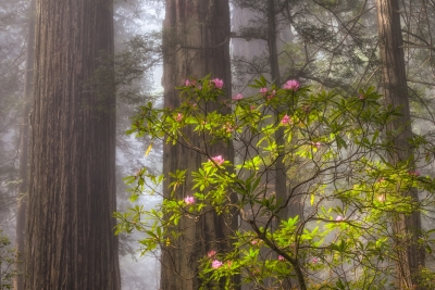 Forest Fog And Blooms