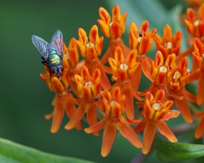 Even A Blowfly Can Look Beautiful In The Right Setting!