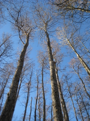 Swamp Trees With A Blue Sky