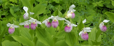 Panoramic Showy Lady's Slippers
