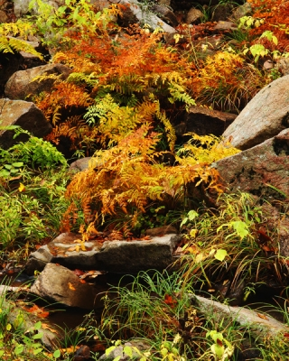 Autumn Ferns On Pickle Creek
