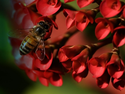Honey Bee On Red