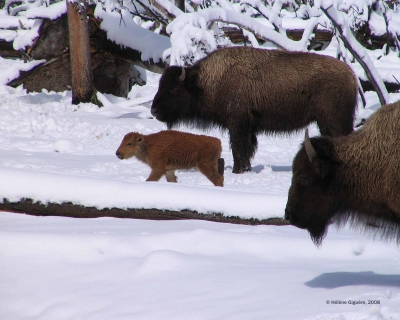 Bison Near Black Sand Basin
