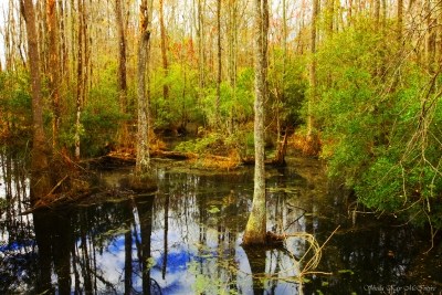 South Carolina Swamp